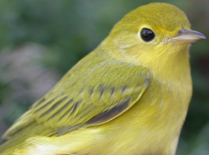 female yellow warbler1